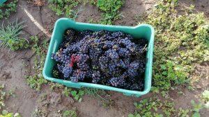 uva para vino poblano