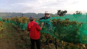 uva para vino poblano tlahuapan ixtapalucan